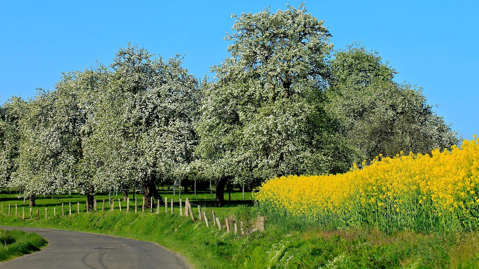 Prendre la route du Domfrontais sous les poiriers en fleurs