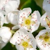 Fleurs de poiriers