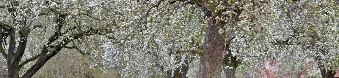 Poirier en fleur crédit Gérard Houdou